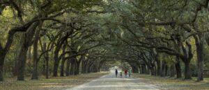 Walking under canopy of oak trees